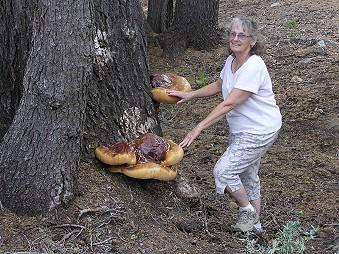 Ganoderma oregonens